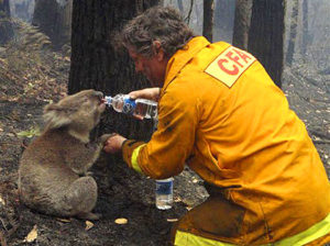Firefighter giving water to Koala that he saved.