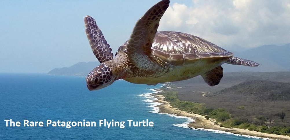 The rare Patagonian Flying Turtle